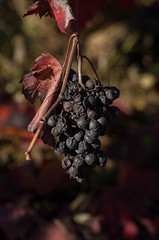 l'automne dans le Beaujolais du ct de Theiz (zabou256 aussi sur Ipernity) Tags: autumn automne herbst vine vignes weinstock