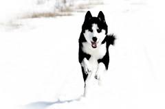 Nickie (bleuvertige) Tags: dog chien husky siberian sibrien