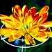 Chrysanthemum+%3A+%E5%A4%A7%E8%8F%8A
