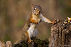 Holding his ground (JD~PHOTOGRAPHY) Tags: nature animal squirrel wildlife groundsquirrel redsquirrel cuteanimals smallcreatures northamericanwildlife