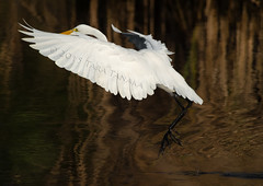 2015-11-24 P7960345 Great Egret flight over the magic water - view large (Tara Tanaka Digiscoped Photography) Tags: flight manualfocus greategret digiscoped digidapter