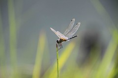 Dragonfly (Mabacam) Tags: nepal river insect wings dragonfly chitwan 2015 terai chitwannationalpark inexplore raptiriver