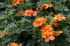 Shilin Residence Chrysanthemum Festival (ddsnet) Tags: plant flower sony taiwan cybershot taipei       africanmarigold    shilinresidencechrysanthemumfestival rx10ii