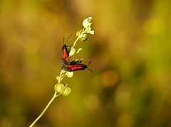 De esos atardeceres en O Courel........... (T.I.T.A.) Tags: galicia mariposa bolboreta zygaena ocourel elcaurel carmensollafotografa carmensollaimgenes