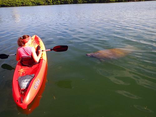 Kayak Tour  with manatee Sarasota 2