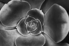 Irish Rose (Joe_R) Tags: blackandwhite bw flower macro baltimore irishrose rawlingsconservatory aeoniumarboreum
