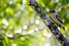 Rio Claro, Antioquia - Colombia (Josefina Severino) Tags: tree green bird arbol ave pajaro rama vede