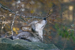 Wolf in der Morgensonne... (Frank Dohle) Tags: a99ii 300mm f71 1160 iso1000 sun sunrise morning wolf