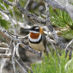 Western Spinebill, Meelup Beach, Western Australia (cembot66) Tags: bird nature wildlife australianwildlife
