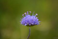 U.F.O. (vdbdc) Tags: flor flower macro close closeup dof depth field bokeh up profundidad de campo profunditat camp tiefenschrfe tiefen scharfe