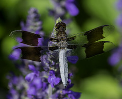 DragonFly_SAF7832-1 (sara97) Tags: dragonfly flyinginsect insect missouri mosquitohawk nature odonata outdoors photobysaraannefinke predator saintlouis towergrovepark copyright2016saraannefinke