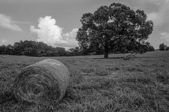 Oak Tree (aa4ga) Tags: eos3 hp5 hc110dilb iso400