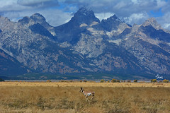 Pronghorn Buck Running in Front of the Tetons - 6564b+ (teagden) Tags: pronghorn pronghornbuck buck run running jenniferhall jenhall jenhallphotography jenhallwildlifephotography wildlifephotography wildlife nature naturephotography photography nikon wild pronghornrut pronghornrunning mountain mountains tetons tetonmountains grandtetonnationalpark grandtetons grandteton fall autumn