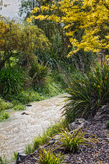 300 365 After the rain (friiskiwi) Tags: spring flowers nelson newzealand nz