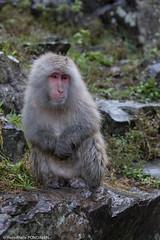 sadness (ympondaven) Tags: yudanaka monkey wet japan sadness animal japanesemacaque macaque snowmonkey rocks
