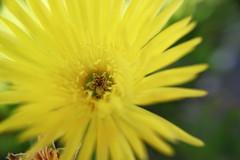 Rayito de sol amarillo (Mari Tutu) Tags: flor flores naturaleza polen abejas primavera calor cactus florecer flore plantas rosa malvon brote vida