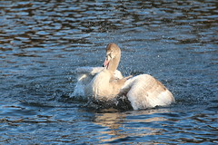 Juvenile Swan No 2 (jdathebowler Thanks for 1.1 Million + views.) Tags: cygnusolor bathingswan waterfowl juvenileswanno2 muteswan swan cygnusolar juvenilemuteswan familyanatidae