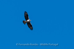Bonelii's Eagle (Aquila fasciata)