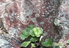 Saxifrage and Lichens (blue corgi) Tags: saxifrage saxifragarotundifolia devilslakestatepark wisconsin poem barabooquartzite lichens nikond700 micronikkor105mmf28afvr