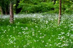 The meadow. (pstone646) Tags: meadow grasses plants nature kent flora trees green white flowers