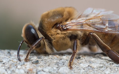 Macro Lens Bee (jimsheaffer) Tags: bee macrolens macrophotography nikonmacrolens nikond750 insect insectmacrophotography flashphotography flash closeup