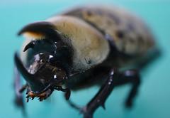 Meet the Beetle (Sun Dogs & Daylilies) Tags: macromondays macromonday happymacromonday hmm beatlesbeetles beetle easternherculesbeetle dynastestityus scarabbeetle rhinocerosbeetle panasoniclumix panasonic lumix dmcgx8 gx8 45mm prime macro microfourthirds mft