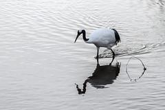 Reflected crane (tmeallen) Tags: redcrownedcrane grusjaponensis endangeredspecies reflections ripples foraging setsuririver hokkaido japan simple incameramonocrome