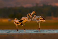 It's all about Light, Greater Flamingos  (Phoenicopterus roseus (Irtiza Bukhari) Tags: phoenicopterus roseus greater flamingos flamingo golden hour beauty nature irtiza bukhari pair three love photography pakistan portrait photographer morning evening sunrisethismorning sunset light little irtizabukhari animals horizontal eos canon canon70d cononeos70d 400mm 400mm56 eyes earlymorning explore images image dslr dusk romance wallpaper background colors