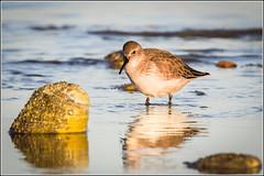 Dunlin (Calidris alpina) (Smudge 9000) Tags: 2016 calidrisalpina coastal dunlin autumn birds wildlife cityofcanterbury england unitedkingdom gb