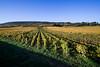 Lignes rouges... (Jarmecan) Tags: paysage vigne vignes