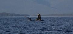 Two Humpback Whales, Alaska, USA. (Seckington Images) Tags: humpback whale alaska flickr