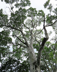 Swietenia macrophylla (Dick Culbert) Tags: taxonomy:binomial=swieteniamacrophylla taxonomy:family=meliaceae meliaceae taxonomy:common=honduranmahogany taxonomy:common=coabadehonduras geo:lat=9065 geo:long=79645