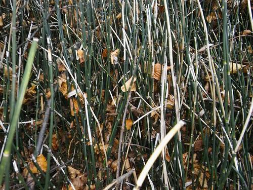 Equisetum hyemale 20161101_144013