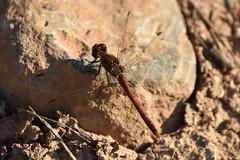 Sympetrum striolatum? (esta_ahi) Tags: serragavatxa insectos fauna sympetrum libellulidae odonata liblula libllula dragonfly santquintdemediona peneds barcelona spain espaa
