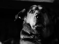 Top modle (cbsstyles) Tags: 40mm gx8 blackandwhite bw portrait wildlife animal pet dog mydog