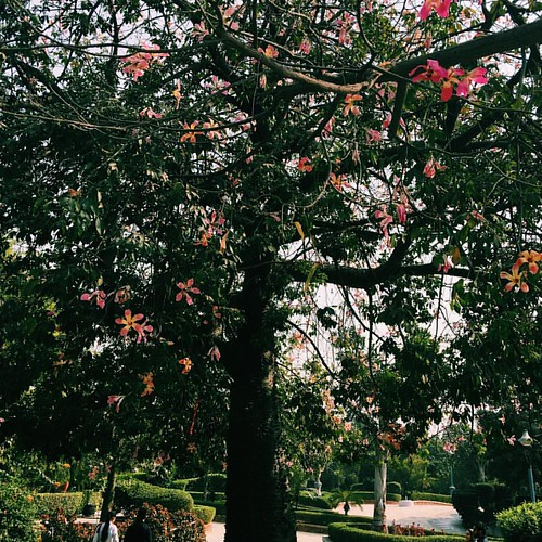 #cherryblossom #trees #sunday #gardenoffivesenses #delhi #2016 #winter