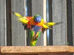 In coming!!! (TonyinAus) Tags: bird animal australian australianbird