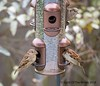 Threes A Crowd (jimgspokane) Tags: birds sparrows wildlife washingtonstate otw today´sbest