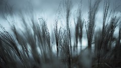 #Silhouette (Caropaulus) Tags: flickrfriday silhouette 50mm alpha7 blue blur bokeh contrast nature plant