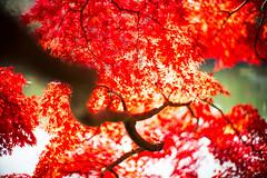 Glow (moaan) Tags: kobe hyogo japan jp autumn november autumncolors autumnleaves colorsofautumn blaze blazingred branch autumnbranch bokeh dof utata 2016 leica mp leicamp type240 noctilux 50mm f10 leicanoctilux50mmf10