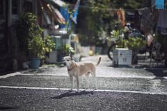 Doggy from Sakurajima 櫻島上的狗狗 (happykiddo) Tags: happykiddo nikon d800 carl zeiss zf2 makroplanart2100 dog japan kogoshima sakurajima 日本 櫻島