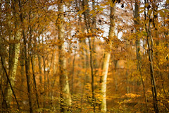 Autumn wind in the woods (Jillyem) Tags: woodland trees autumn fall gold leaves autumnal outdoor bokeh windy helios 442 canon canon5d canon5diii harpsdenwoods harpsden oxfordshire woods nature
