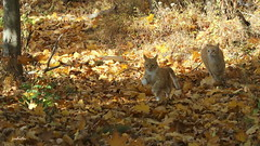 racing through the leaves (judecat (back with the pride)) Tags: cat cats felines redtabbies leaves golden autumn fall woods simon floydd catschasing