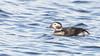 110.2 IJseend-20161117-J1611-38894 (dirkvanmourik) Tags: castricum clangulahyemalis duinreservaat iiseend longtailedduck vogelsvannederland bird vogels