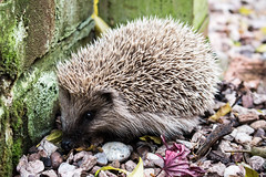 Young Tiggy-Winkle (Keith in Exeter) Tags: hedgehog animal prickles garden daytime visitor outdoor snuffles young mammal wildlife creature erinaceuseuropaeus