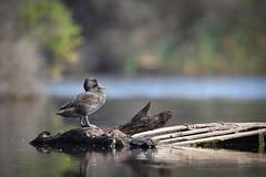 Freckled Duck (Athena Georgiou) Tags: birds herdsmanbirds freckled duck western australia perth