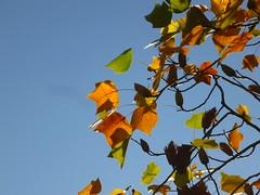 Tulpenbaum-Gezweige (Jörg Paul Kaspari) Tags: trier palastgarten liriodendron tulipifera liriodendrontulipifera tulpenbaum herbstfärbung autumncolor herbst autumn fall tulpenbaumgezweige fruit fruits
