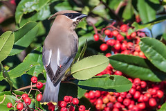 Cedar Waxwing (Becky Matsubara) Tags: pointisabel richmond california unitedstates us bombycillacedrorum cedarwaxwing waxwing meekersslough bird birds