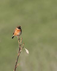 Stonechat (boogie1670) Tags: canon7dmarkii sigma 150600mm sports wildlife britishbirds birds yorkshire wild outdoors ngc stonechats