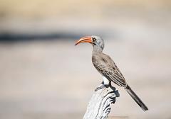 Bradfield's Hornbill, (Explored) Tockus bradfieldi, Hwange National Park, Zimbabwe (Jeremy Smith Photography) Tags: aves birds birdsofafrica bradfieldshornbill hornbills hwangenationalpark jeremysmith jeremysmithphotographycouk jeremysmithphotographycom tockusbradfieldi zimbabwe zimbabwebirding